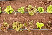 Island Gem lettuce
