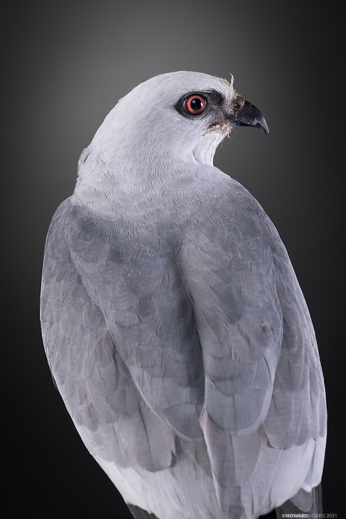 Mississippi Kite (Ictinia mississippiensis). Miki is an imprinted raptor who suffers from an old leg fracture.
