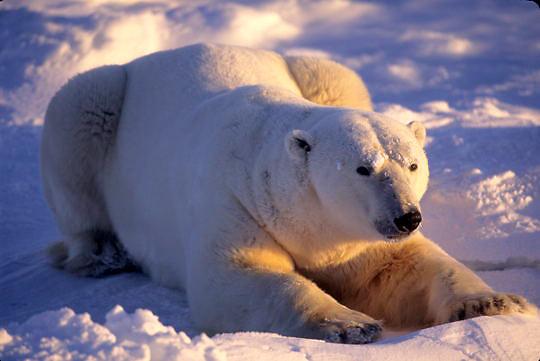 Polar Bear, (Ursus maritimus) Resting male. Churchill, Manitoba. Canada.