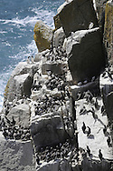 Guillemot Uria aalge - breeding colony on Lundy. L 42cm. Familiar seabird that nests in densely packed breeding colonies. Swims well and flies on whirring wingbeats. Sexes are similar. Adult in summer has chocolate-brown head and upperparts (darkest in N birds) and white underparts. Bill is dark and dagger-like; so-called 'Bridled Guillemot' has white 'spectacle' around eye. In winter, has white on cheeks and throat but black line running back from eye. Voice Utters growling calls at breeding colonies. Status Locally numerous at seabird colonies with precipitous cliff ledges. Moves offshore outside breeding season. Suffers badly in oil spills.