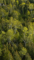 Grove of poplars with fresh spring foliage among cedars,  Bruce Peninsula National Park, Ontario Canada