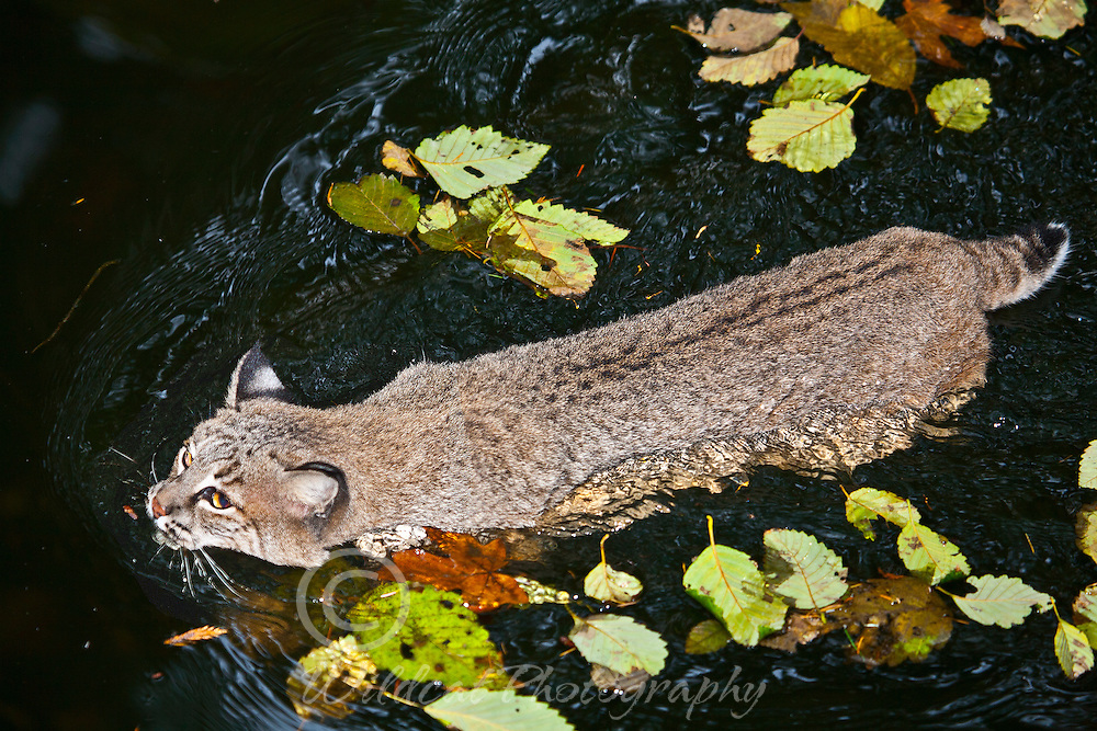 Bobcat Swimming on a cold, fall day.