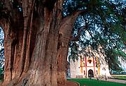 MEXICO, LANDSCAPE, OAXACA 'El Tule' 2000 yr. old ahuehuete cypress