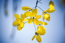 Cassia fistula, Golden Shower Tree #1