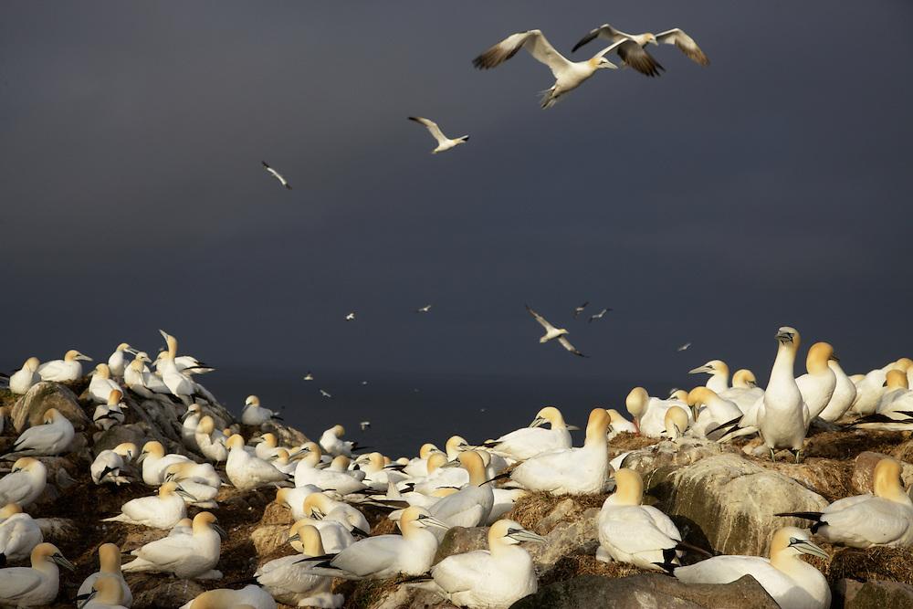 Gannets (Sula bassana) Ireland Saltee Islands south east coast