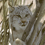 Canada Lynx, (Lynx canadensis) Montana. Portrait of sub adult in tree. Winter. Captive Animal.
