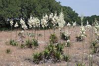 Yucca, (Yucca pallida), Mason County, TX