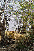 Lioness relaxes in the shade under trees.