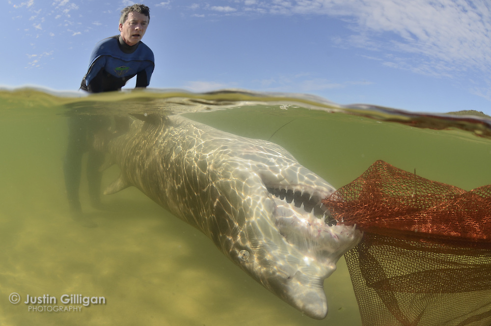 A grey nurse shark (Carcharias taurus) being removed from a shallow lake by Dr Nicholas Otway (NSW DPI) after it became trapped in shallow water, photographed in Smith's Lake, New South Wales, Australia, Pacific Ocean.