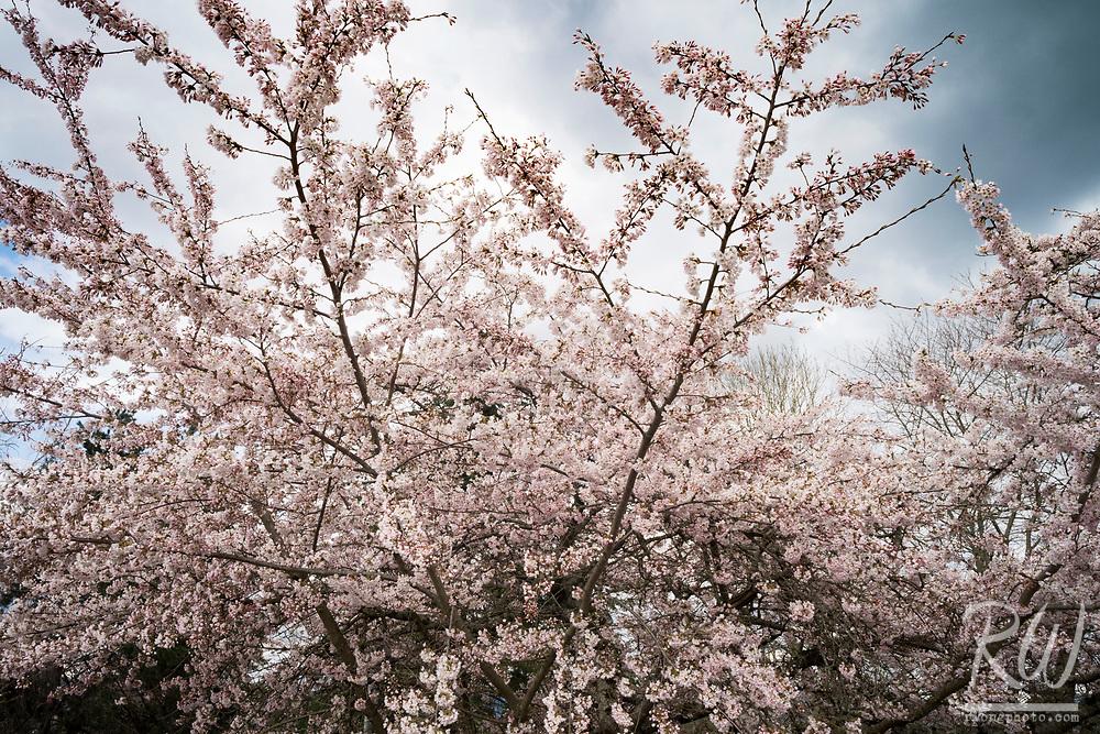 Cherry Blossoms at Queen Elizabeth Park, Vancouver, B.C., Canada