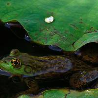 Wild bullfrog in the frog pond at the National Zoo, Washinton, DC