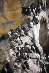 USA ALASKA ST PAUL ISLAND 8JUL12 - A colony of common and thick-billed murres (Uria aalge and Uria lomvia) breeds on the island of St. Paul in the Bering Sea, Alaska.....Photo by Jiri Rezac / Greenpeace....© Jiri Rezac / Greenpeace