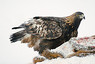 Golden Eagle Aquila chrysaetos W 190-225cm. Majestic raptor. Distant flight view could be confused with soaring Buzzard but note proportionately longer wings (narrow appreciably towards base) and relatively long tail. Catches Mountain Hares and Red Grouse but also feeds on carrion in winter. Sexes are similar. Adult has mainly dark brown plumage with paler margins to feathers on back and golden-brown feathers on head and neck. Tail is dark-tipped and barred but can look uniformly dark in flight silhouette. Juvenile is similar to adult but has white patches at base of outer flight feathers; tail is mainly white but with broad, dark tip. Subadult gradually loses white elements of juvenile plumage by successive moults over several years. Voice Mainly silent. Status Resident of remote, upland regions, mainly in Scotland. Favours open moorland and mountains.