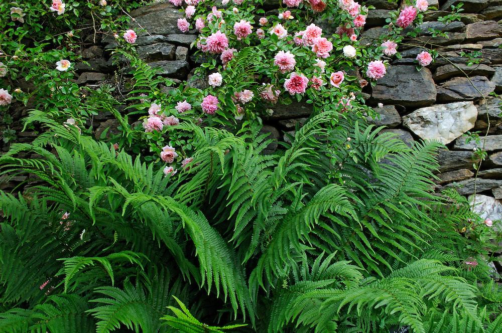 France, Languedoc Roussillon, Gard, Concoules, Jardin du Tomple, jardin remarquable, fougères et rosier Paul transon
