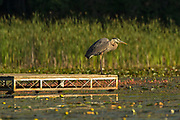 A Great blue heron stands silently waiting for prey on a dock in early morning light.