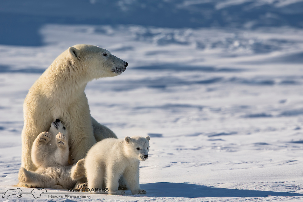 Family of polar bears recently out of the den. Hudson bay, Churchill Area, Manitoba, Canada.