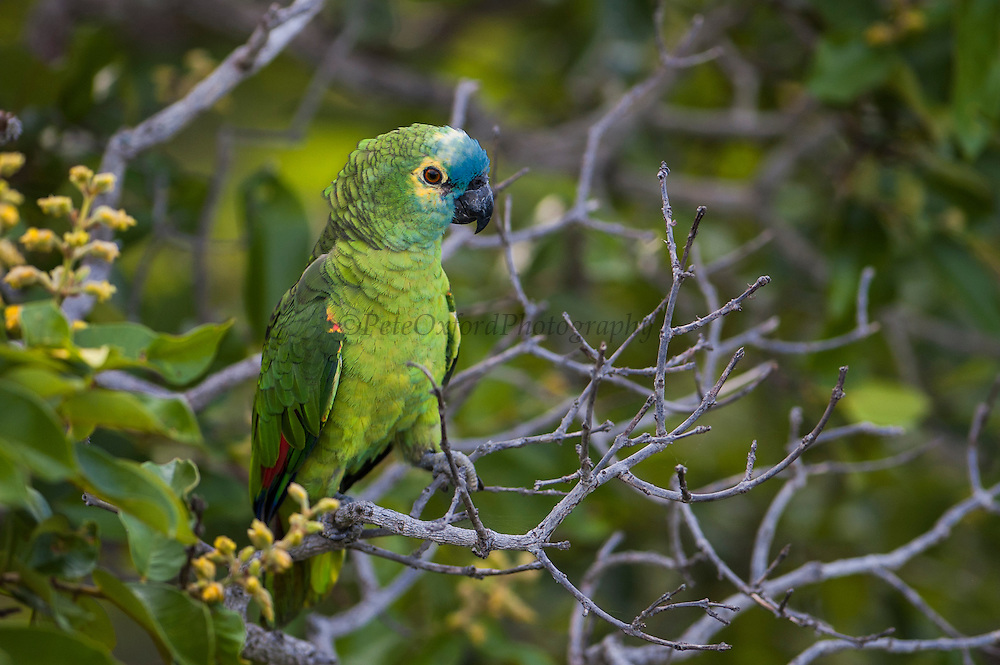 Turquoise-fronted Parrot or Blue-fronted Parrot (Amazona aestiva)<br /> PHOTOGRAPHED IN: Serra da Bodoquena. Limestone elevated area which devides the Pantanal and the Cerrado. Mato Grosso do Sur Province. BRAZIL.  South America<br /> RANGE: Cerrado and Caatinga palm groves. e Brazil - Maranhao and Pará to Rio Grande do Sul, Bolivia, Paraguay and n Argentina.