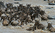 Wildebeests crossing the Mara River, Kenya, in July 2013 in their annual great migration.