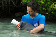 West Indian manatee (Trichechus manatus) <br /> Wildtracks<br /> Manatee Rehabilitation Center<br /> Sarteneja<br /> Belize,<br /> Central America<br /> & Daryn Wood