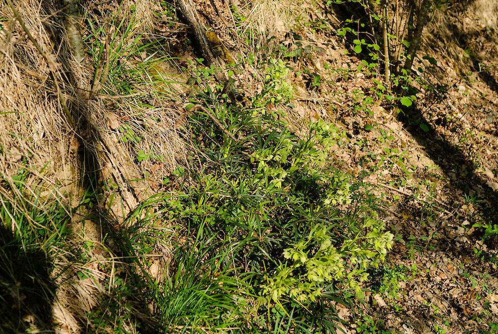 Stinkend nieskruid, Helleborus foetidus