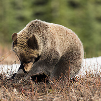 grizzly bear sow