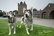 """Portrait of """"Summer"""" and """"Greywind"""" direwolves from the Game of Thrones series, photographed in front of the farmyard at Castle Ward, portrayed as Winterfell in Game of Thrones."""