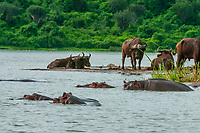 Hippos and Cape Buffalo along the Kazinga Channel, Queen Elizabeth National Park, Uganda. <br /> <br /> The Kazinga Channel in Uganda is a wide, 32-kilometre (20 mi) long natural channel that links Lake Edward and Lake George, and a dominant feature of Queen Elizabeth National Park. The channel attracts a varied range of animals and birds, with one of the world's largest concentration of hippos and numerous Nile crocodiles.