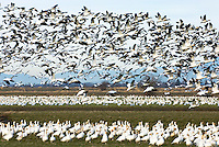 Migrating flock of Snow Geese (Chen caerulescens) wintering in the lower Skagit River valley Washington USA
