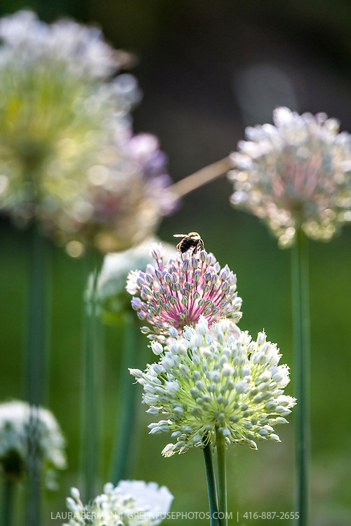 A bee gathers pollen on the flowers of a garlic plant.