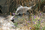 Wolf sunning him or her self in the flowers