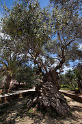 The world's oldest olive tree, in the village of Ana Vouves, thought to be between 2000-3000 years old.  The trunk has a perimeter of 12.5 m and a diameter of 4.6 m