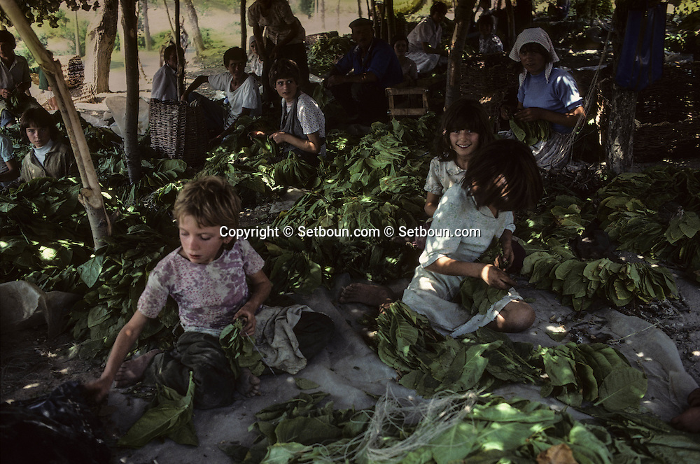 Albania under the communist regime. Children selecting tobacco leaves in BERAT.   / Enfants triant les feuilles de tabac dans la région de Berat.  / R00039/74    L2274  /  P0001226 /