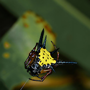 Spiny spider (Gasteracantha  sp.) at Khao Ang Rue Nai wildlife sanctuary in the Eastern Forests of Thailand