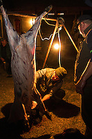 Romanian hunters skinning and preparing the meat of a female Wild boar (Sus scrofa) that was shot during a driving hunt in the forest area outside the village of Mehadia, Caras Severin, Romania.