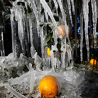 A protective layer of ice coats the outside of orange in a grove in Plant City, Florida January 11, 2010. The young trees are watered through the night. Photo by Scott Audette