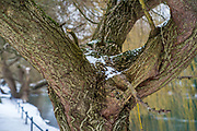 Maidenhead, United Kingdom.  General View, Snow resting in the tree where the limbs grow from the trunnk. Raymill Island Winter Snow. Banks of the River Thames. <br />
