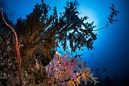 Black corals-corail noir (Antipatharia) of Red Sea, Sudan.