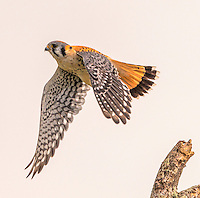 American Kestrel, Falco sparverius<br />