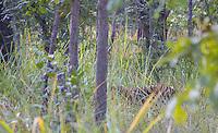 Royal Bengal Tiger (Panthera tigris tigris) camoflauged grassy sal forest in Bardia National Park, Nepal