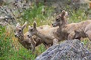 Bighorn Lambs in Rocky Mountain Habitat