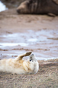 Donna Nook, Lincolnshire, UK – Nov 15: Cute fluffy newborn baby grey seal pup lies upside down on the mud flats, biting at his flipper claws on 15 Nov 2016 at Donna Nook Seal Santuary, Lincolnshire Wildlife Trust