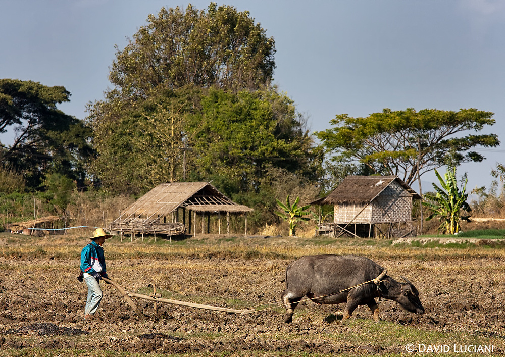 A young farmer using a water buffalo to plough the field. You need some practise to control this huge animal. I tried to plough the same field with another buffalo, but i failed miserably.