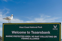 A Hartlaubs Gull sits on signage at Tsaarsbank and the 16-mile Marine Protected Area, West Coast National Park, Western Cape, South Africa