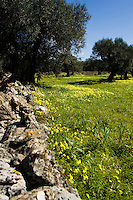 La primavera nella campagne comincia a diffondersi attraverso la crescita dell'erbetta, di fiori creando un suggestivo contrasto con gli alberi ed il cielo. I muretti a secco caratterizzano il salento in genere, si possono trovare nelle campagne a confine tra un terreno e l'altro, ma anche in paese.