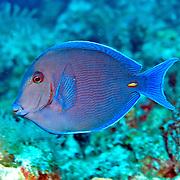 Blue Tang inhabit reefs in the Tropical West Atlantic; picture taken San Salvador, Bahamas.