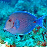 Blue Tang inhabit reefs in the Tropical West Atlantic; picture taken San Salvador, Bahamas.