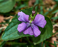 Wild Violet. Image taken with a Fuji X-H1 camera and 60 mm f/2.4 macro lens (ISO 200, 60 mm, f/5.6, 1/125 sec).