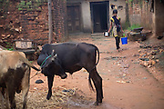Walking past her family's oxen, Tabasum Khatun, 14, preparing to wash dishes in the courtyard of her home in Algunda village, pop. 1000, Giridih District, rural Jharkhand, India.