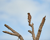 Red-shouldered Hawk perched on a dead tree just north of the Wilson's Corner intersection. Merritt Island National Wildlife Refuge. Image taken with a Nikon D4 camera and 300mm f/2.8 VR lens (ISO 100, 300 mm, f/2.8, 1/2000 sec).