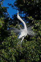 Great Egret (Ardea alba) in breeding plumage courtship dispaly while perched in a tree at edge of Lake Chapala, Jocotopec, Jalisco, Mexico